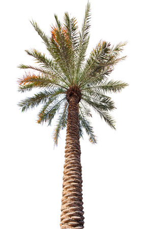 Palm tree with a long barrel. bottom up view. Isolated over white background photo