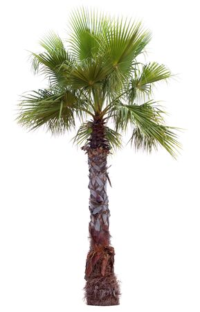 Palm tree with a large crown. Isolated over white. photo