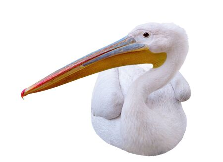freshwater bird: Pelican sitting sideways looks in the picture. Isolated over white background Stock Photo