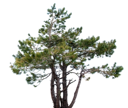 scots pine: Mountain spruce. conifer.Isolated over white