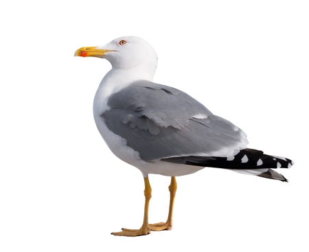 sea gull standing on his feet. seagull . Isolated over white photo
