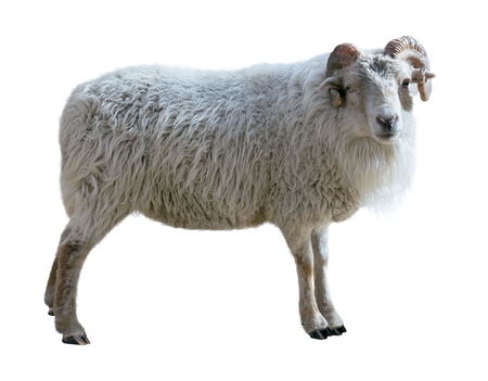Sheep with thick hair and twisted horns looks in the picture. Isolated over white background photo