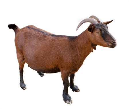 goat. domesticated, brown color. top view. Isolated over white background 스톡 콘텐츠