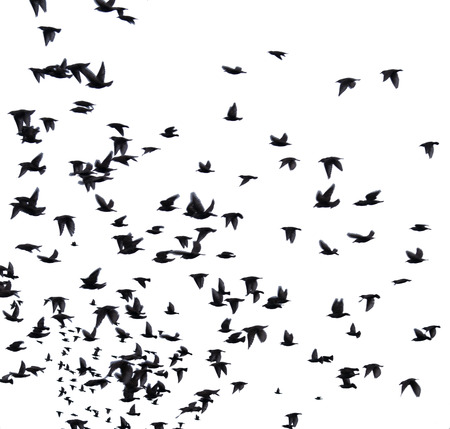 bird feathers: A flock of migratory birds. set of black silhouettes of birds flying in the sky. Isolated on white background