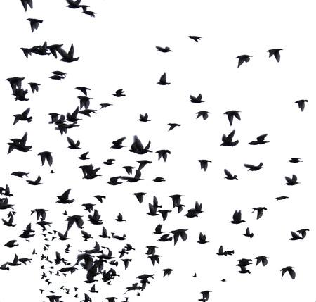 bandada pajaros: Una bandada de aves migratorias. conjunto de siluetas negras de los pájaros que vuelan en el cielo. Aislado en el fondo blanco