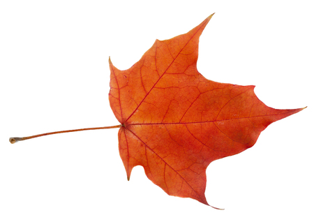 acer: Bright autumn leaf. Isolated on a white background. Stock Photo