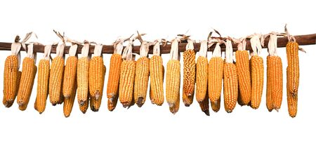 drying corn cobs: corn cobs hanging to dry. Isolated on white background.