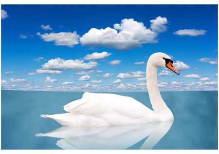 graceful: White swan floats in water. bird in a pond under the blue sky with clouds