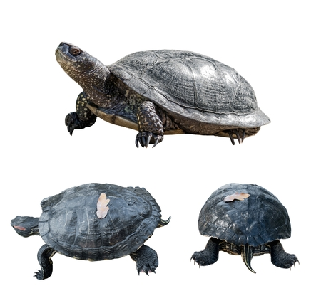 saurian: Set of turtles. turtles from different sides. isolated over white background. Stock Photo