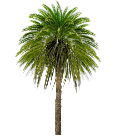 oversized: Palm tree with a large crown. Isolated over white. Stock Photo