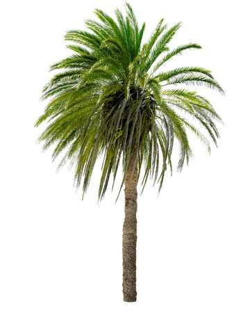 date palm: Palm tree with a large crown. Isolated over white. Stock Photo