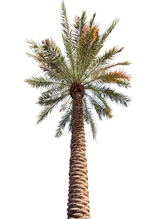 Palm tree with a long barrel. bottom up view. Isolated over white background Stock Photo