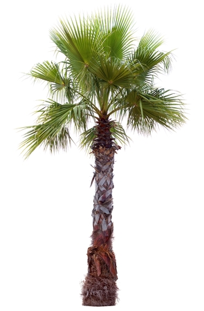 Palm tree with a large crown. Isolated over white. Stock Photo