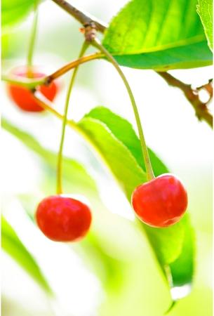 Close-up of Ripe Cherries On Tree .