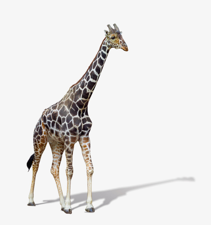 giraffe isolated on white background. Stock Photo