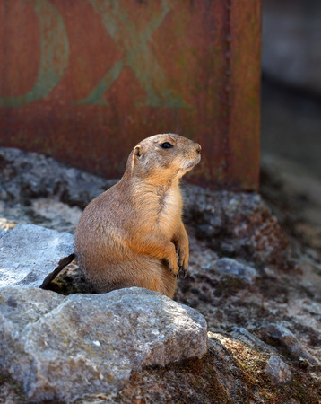 Gopher close up. A young ground squirrel in the wild looks sideways.