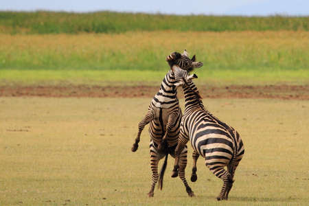 Arusha Tanzania- March, 2016 : Two Male Zebras fighting over controlling the herd and the land near lake Manyara, north of Tanzania