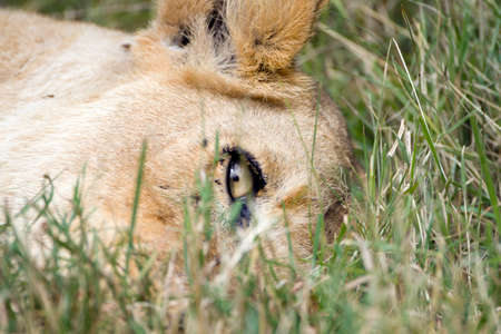 lioness with direct eye contact with me. Stockfoto