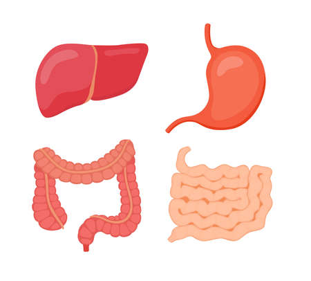 digestive organ liver stomach large intestine small intestine white isolated background flat style vector design