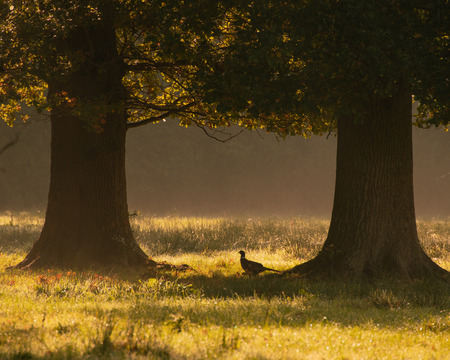 pheasant in meadows with trees