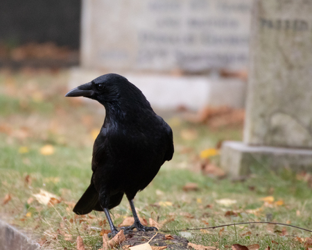 Crow in graveyard