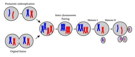 chromosome x y: Illustration showing Reproduction procedure in cell Illustration