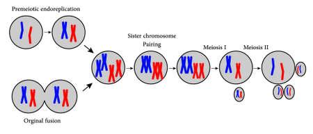 cromosoma: Ilustración que muestra el procedimiento de la reproducción celular