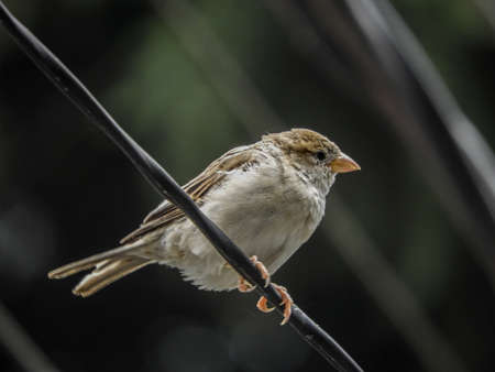 A common sparrow sitting on a wire spotted in Dharamshala, India