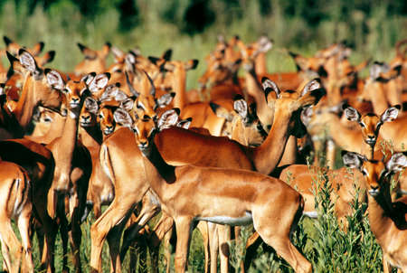 tanzania antelope: impala Stock Photo