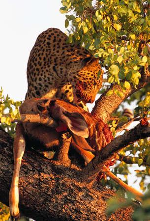 tanzania antelope: leopard