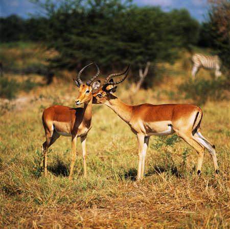tanzania antelope: impala Stock Photo