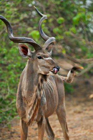 tanzania antelope: kudu