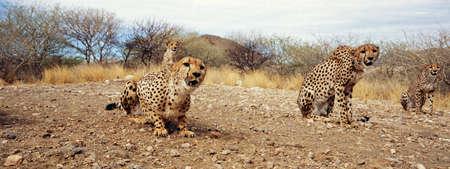 cheetah: cheetah Stock Photo