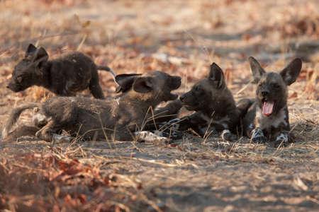wild dog: wild dog Stock Photo