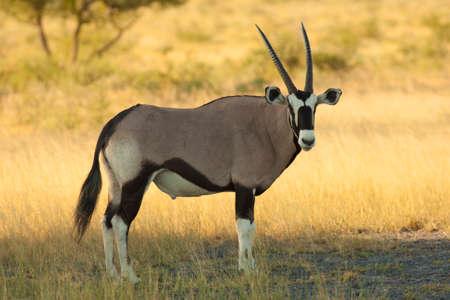 oryx: oryx Stock Photo