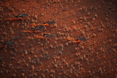 lia: oryx Stock Photo