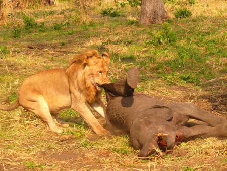 lion is hunting Banco de Imagens