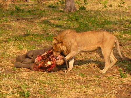 leeuw jaagt