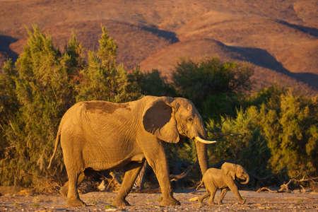 baby elephant in savannah Foto de archivo