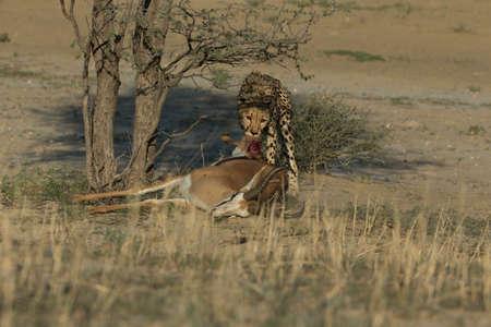 Cheetah is hunting in savannah in namibia