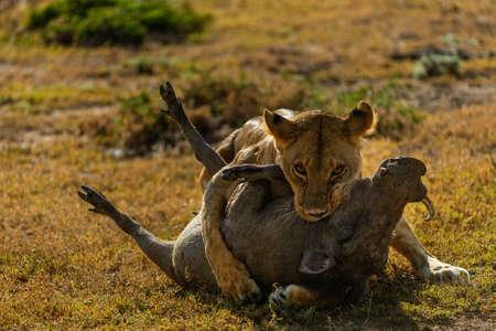 lion is hunting in savannah
