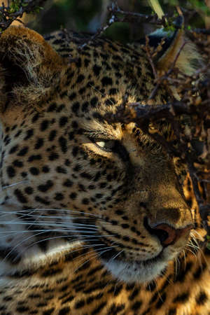 Portrait of leopard in Kenya Archivio Fotografico - 121578194