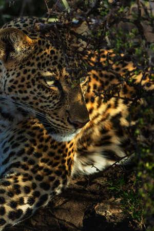 Portrait of leopard in Kenya Archivio Fotografico - 121578262