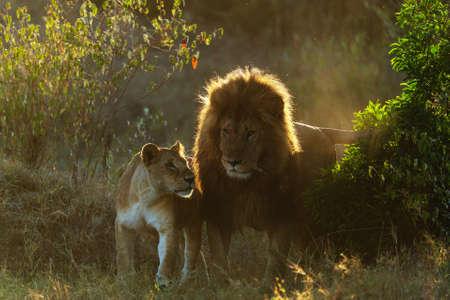 pride of lions in kenya Archivio Fotografico - 121578269