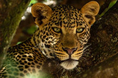 Portrait of leopard in Kenya Archivio Fotografico - 121578282