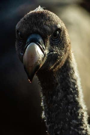 Vulture is hunting in savannah Archivio Fotografico - 121578156