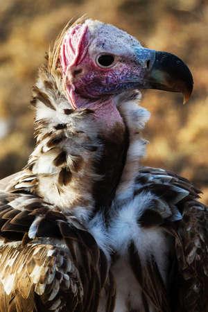 Vulture in savannah in kenya Archivio Fotografico - 131780174