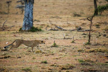 cheetah is hunting in savannah Archivio Fotografico - 131780431