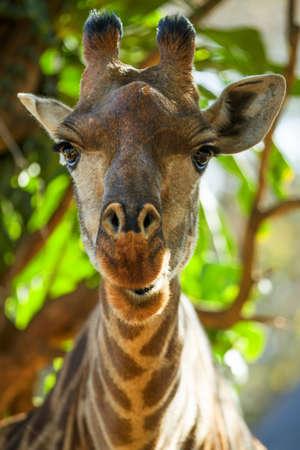 giraffe in forest in namibia Archivio Fotografico - 131779956