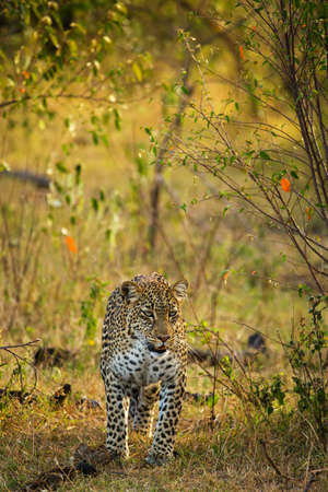 A leopard in savannah in botswana Archivio Fotografico - 131779777
